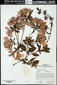 herbarium voucher for Rhododendron 'Bacchante'
